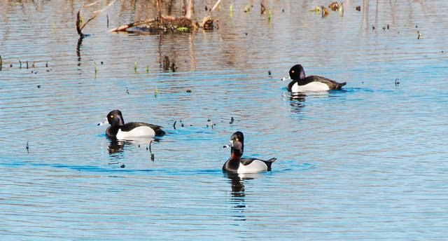 Ring-necked Ducks <br/> Credit: Eve Gaige