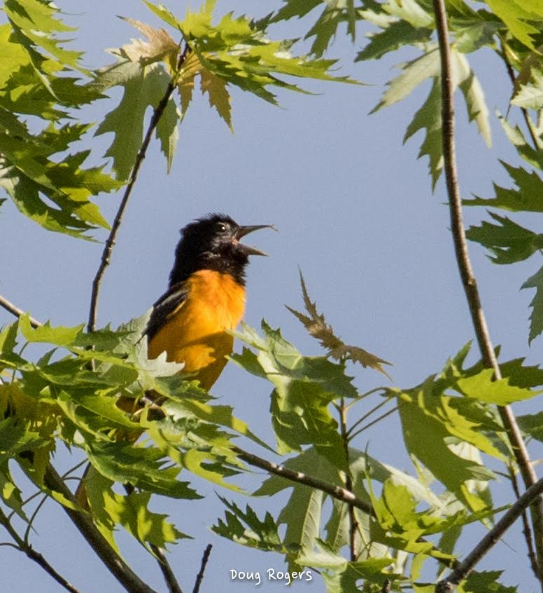Baltimore Oriole <br/>Credit: Doug Rogers