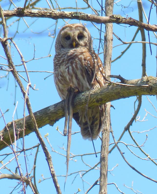 Barred Owl with dinner <br/>Credit: Nancy Newman