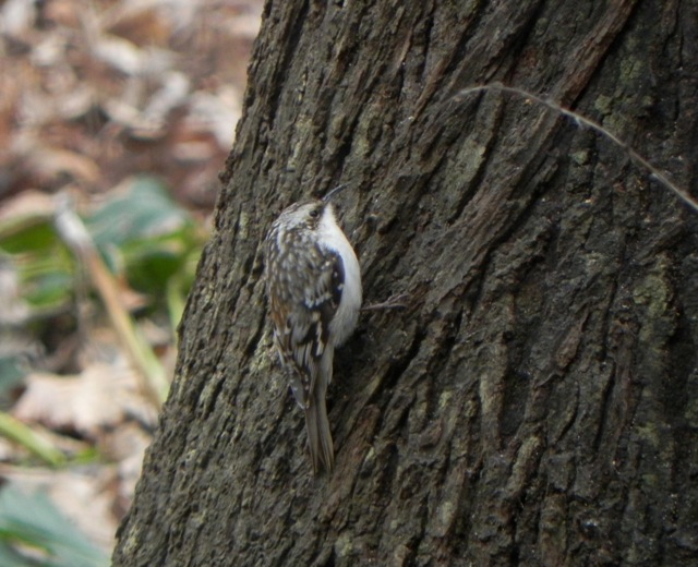 Brown Creeper <br/>Credit: Janet Paisley