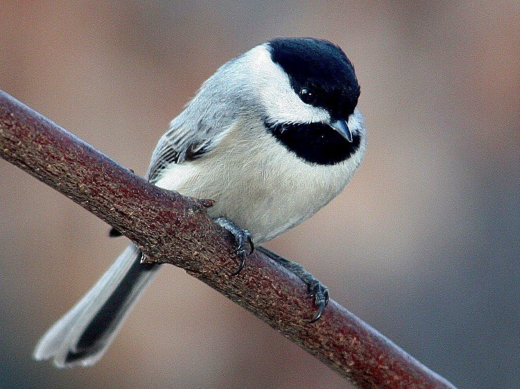 Carolina Chickadee <br/>Credit: Bill Leaning