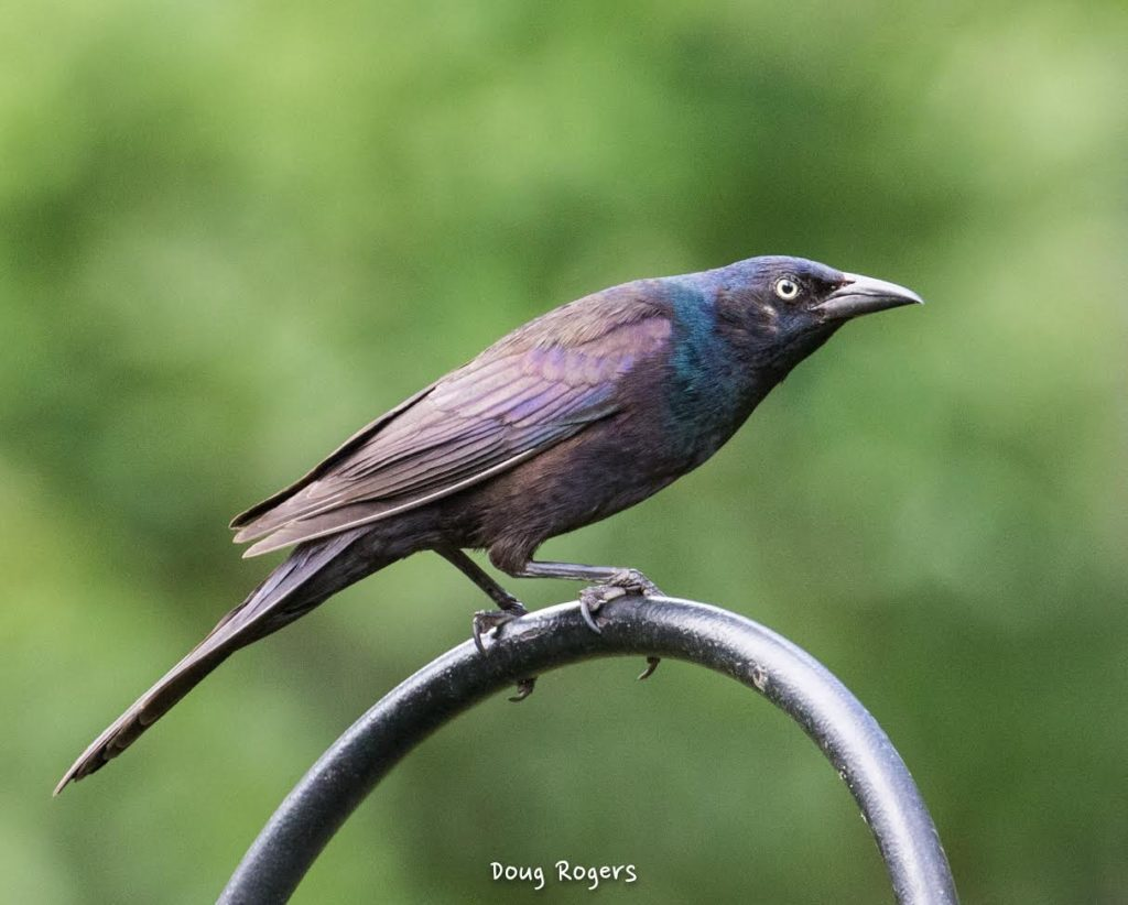 Common Grackle <br/>Credit: Doug Rogers
