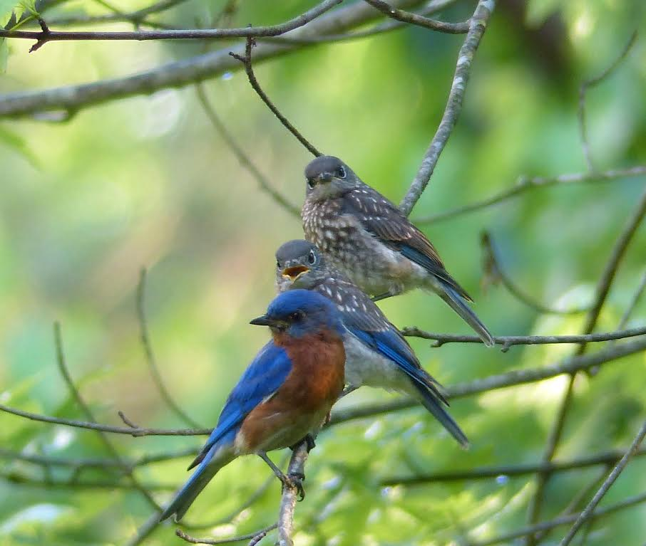 Eastern Bluebird, Proud Papa <br/>Credit: Nancy Newman