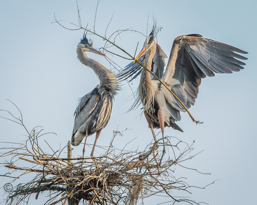 Great Blue Herons <br/> Credit: Jeannie Holden