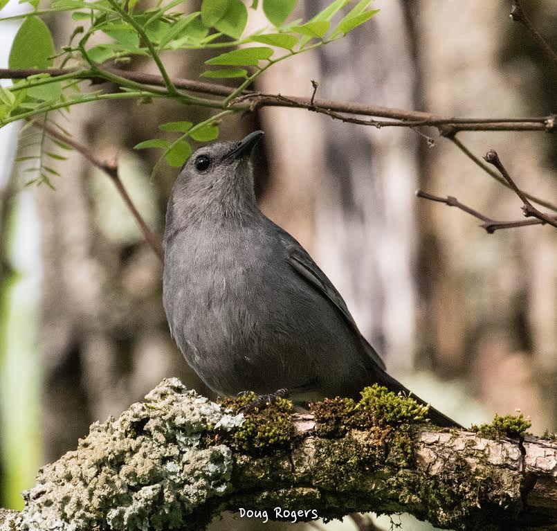 Gray Catbird <br/>Credit: Doug Rogers