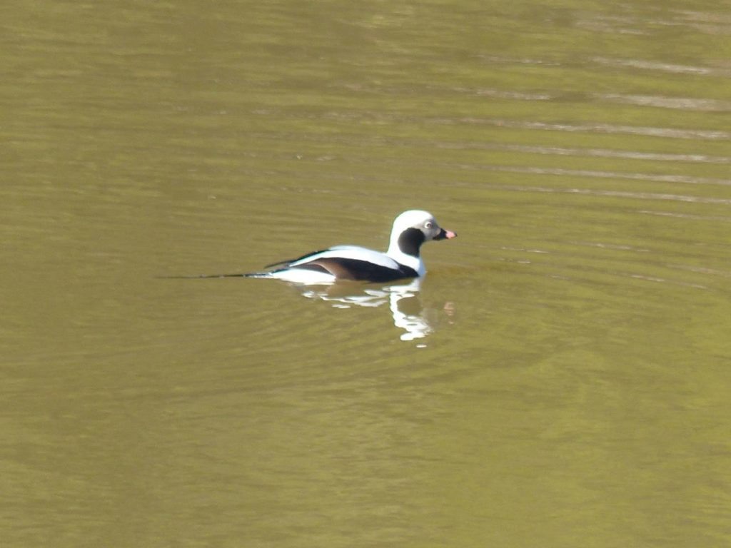 Long-tailed Duck <br/>Credit: Nancy Newman