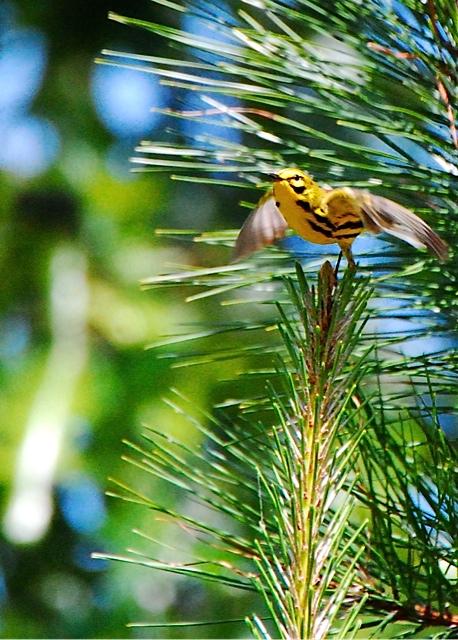 Prairie Warbler <br/>Credit: Eve Gaige
