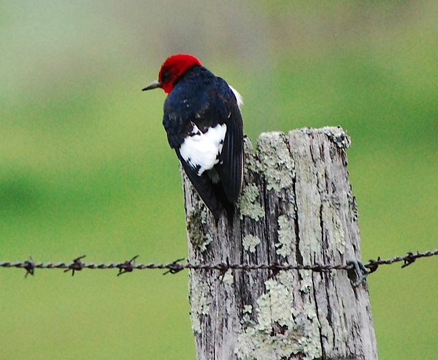 Red-headed Woodpecker <br/>Credit: Eve Gaige