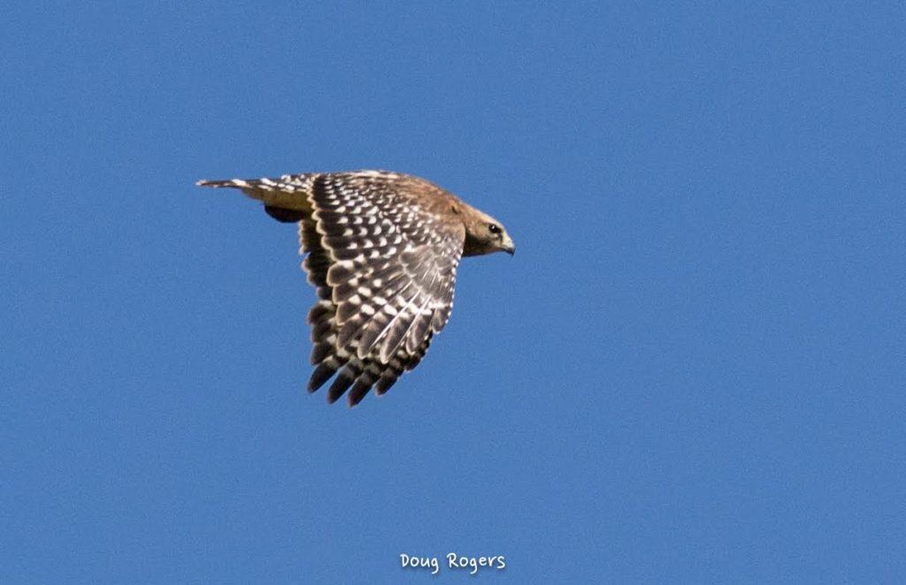 Red-shouldered Hawk <br/>Credit: Doug Rogers