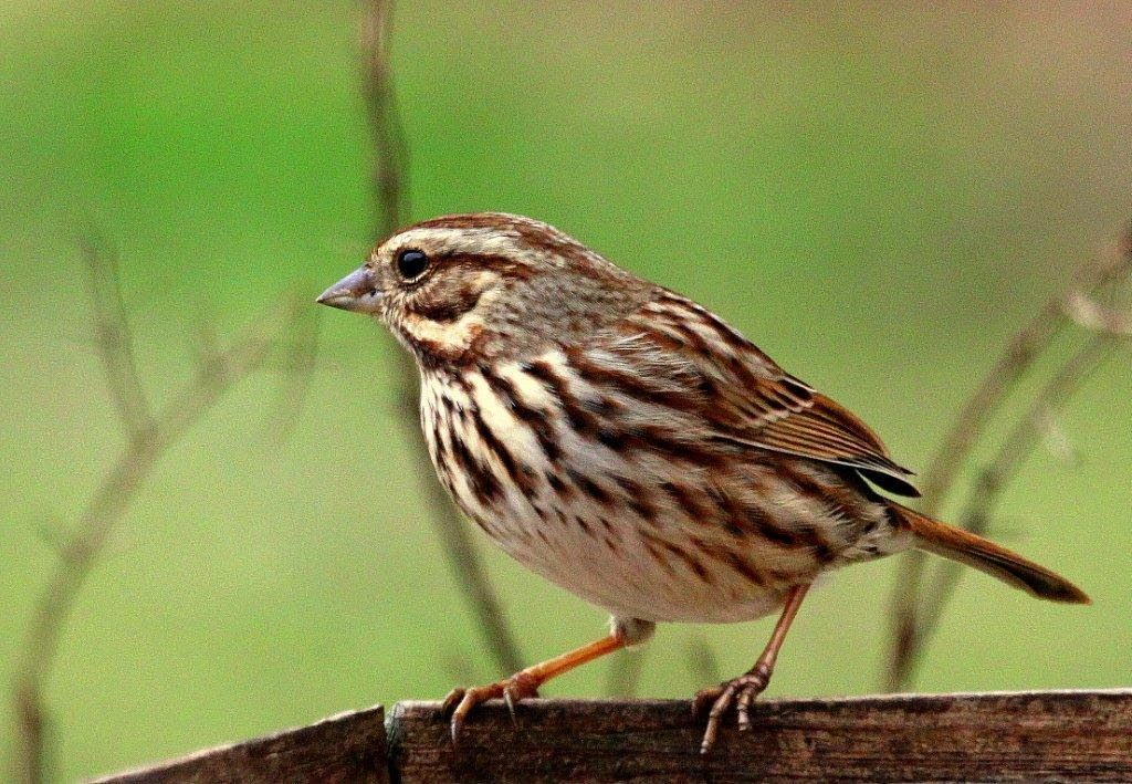 Song Sparrow <br/>Credit: Bill Leaning