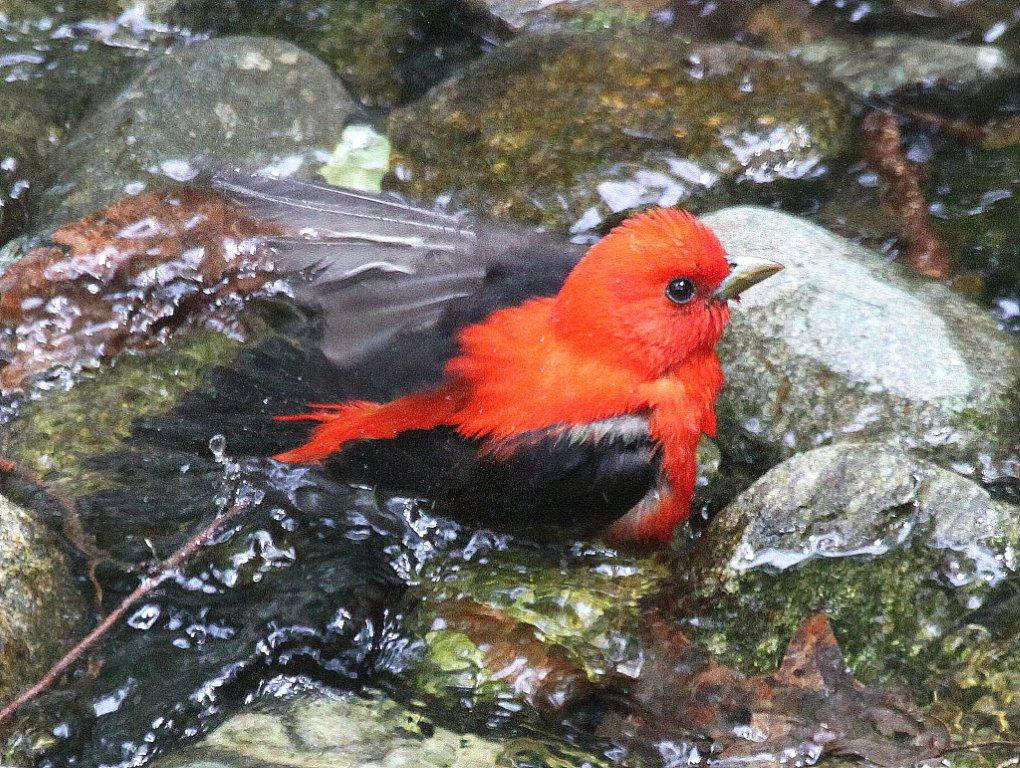 Scarlet Tanager <br/>Credit: Bill Leaning