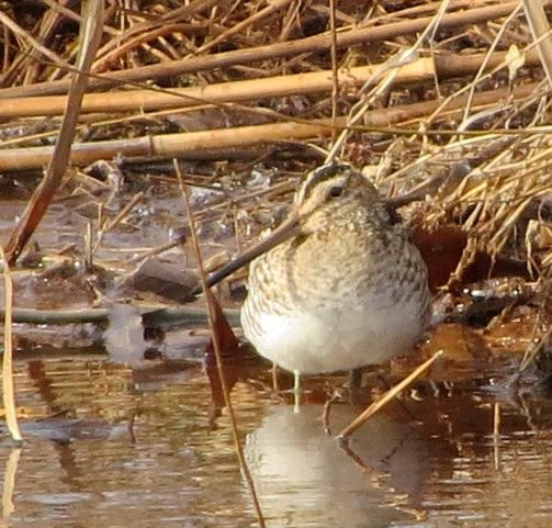 Wilson\'s Snipe <br/>Credit: Janet Paisley