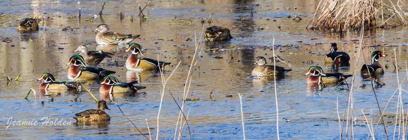 Wood Ducks <br/>Credit: Jeannie Holden