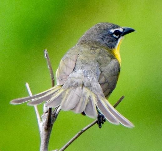 Yellow-breasted Chat <br/>Credit: Eve Gaige