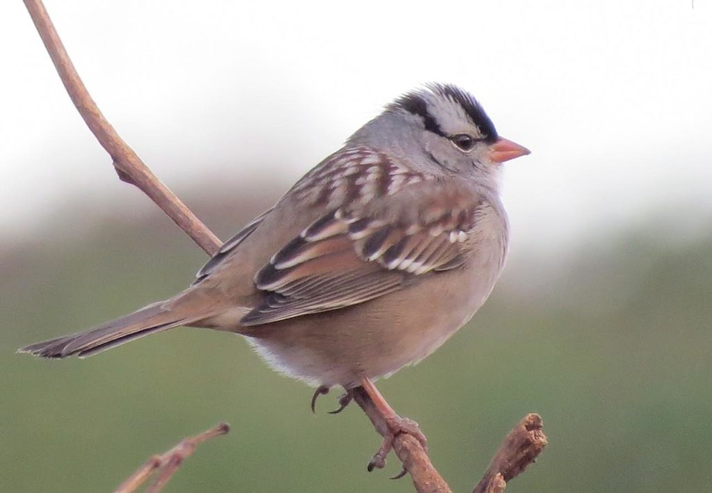 White-crowned Sparrow <br/>Credit: Janet Paisley