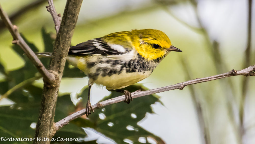 Black-throated Green Warbler <br/>Credit: Doug Rogers