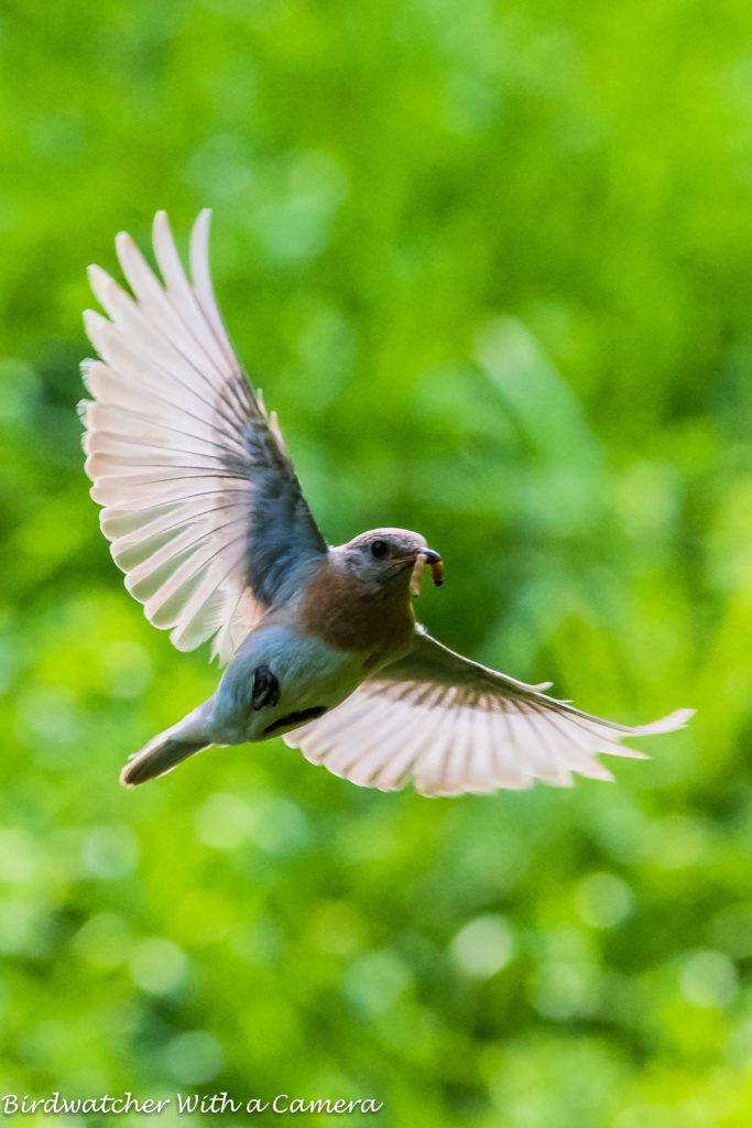 Eastern Bluebird - leucistic female <br/>Credit: Doug Rogers