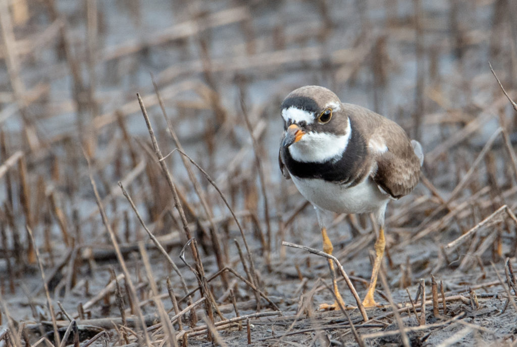 Semipalmated Plover <br/>Credit: Greg Goodson