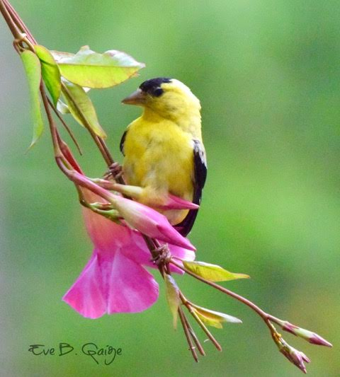 American Goldfinch <br/> Credit: Eve Gaige