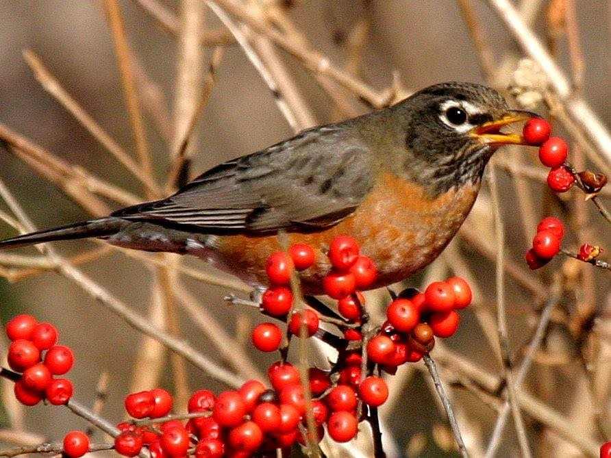 American Robin <br/> Credit: Bill Leaning
