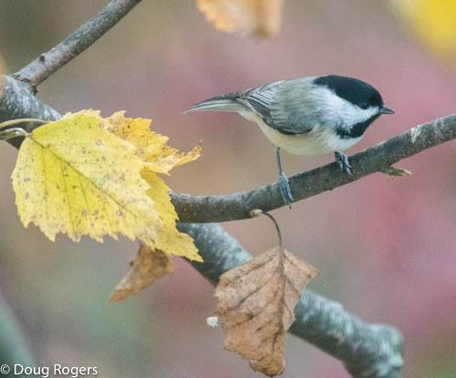Carolina Chickadee <br/>Credit: Doug Rogers
