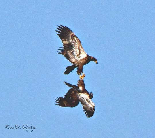 Juvenile Bald Eagles <br/> Credit Eve Gaige