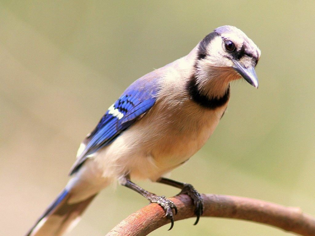 Blue Jay <br/>Credit: Bill Leaning