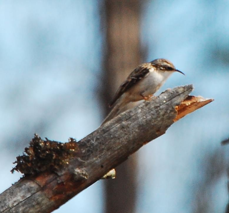 Brown Creeper <br/>Credit: Eve Gaige