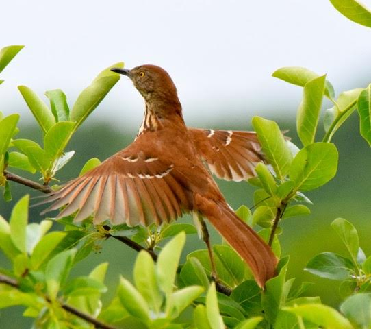 Brown Thrasher <br/>Credit: Eve Gaige