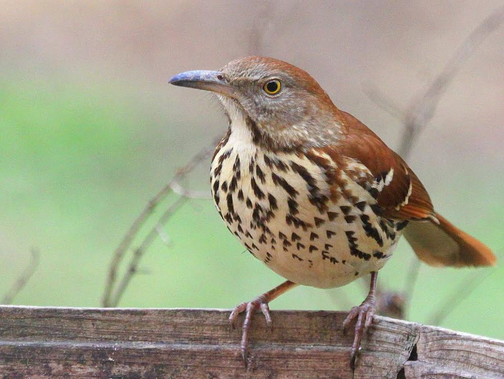 Brown Thrasher <br/>Credit: Bill Leaning