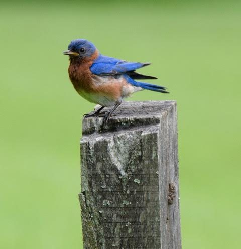 Eastern Bluebird <br/>Credit: Eve Gaige