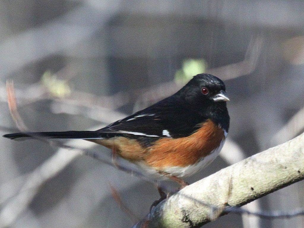 Eastern Towhee <br/>Credit: Bill Leaning