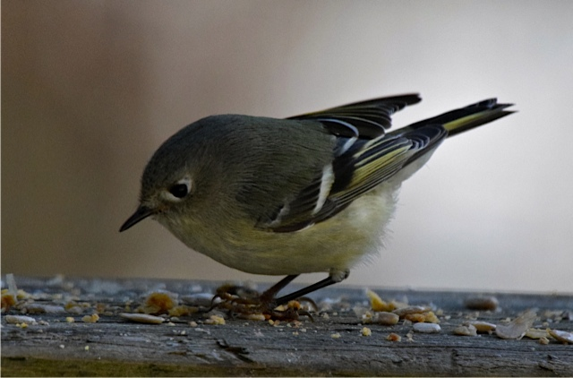 Ruby-crowned Kinglet <br/>Credit: Eve Gaige
