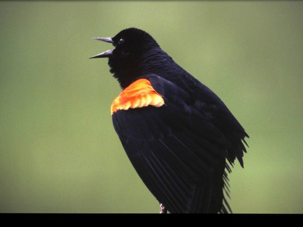 Red-winged Blackbird <br/>Credit: Bill Leaning