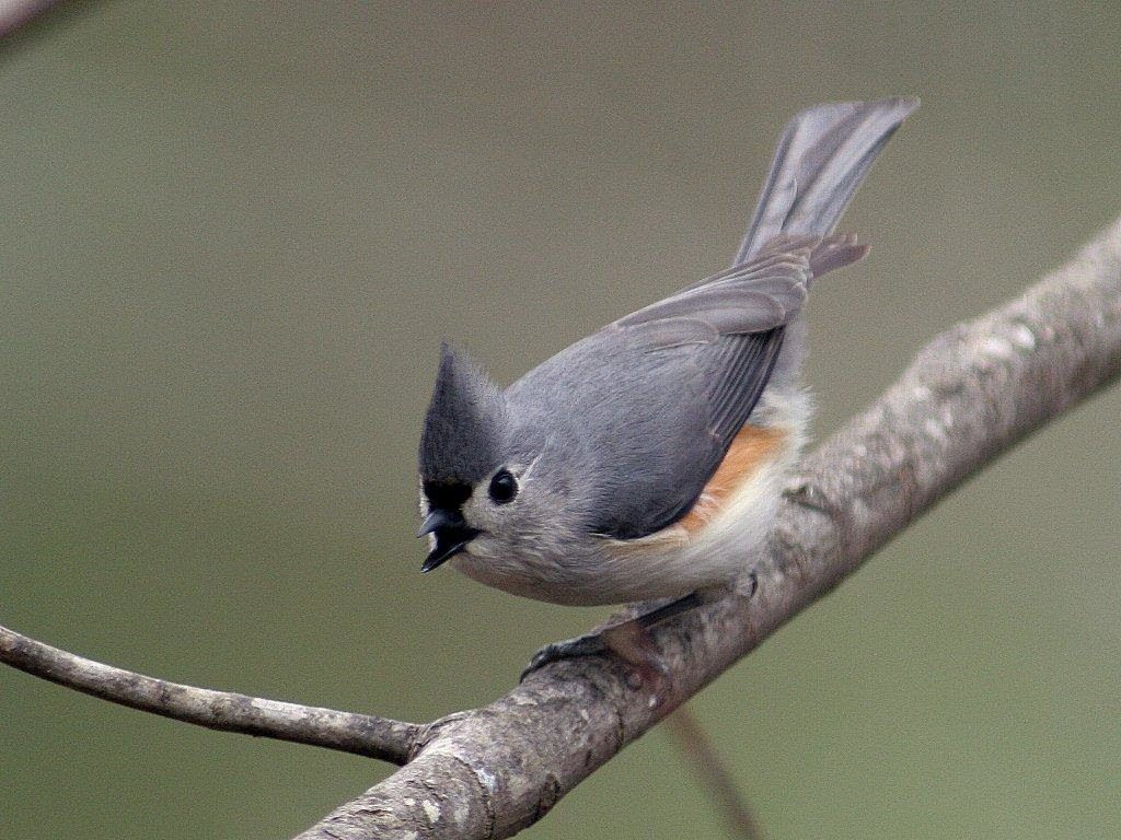 Tufted Titmouse <br/>Credit: Bill Leaning