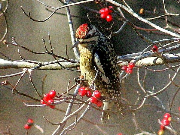 Yellow-bellied Sapsucker <br/>Credit: Bill Leaning