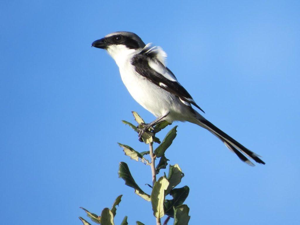 Loggerhead Shrike <br/> Credit: Janet Paisley