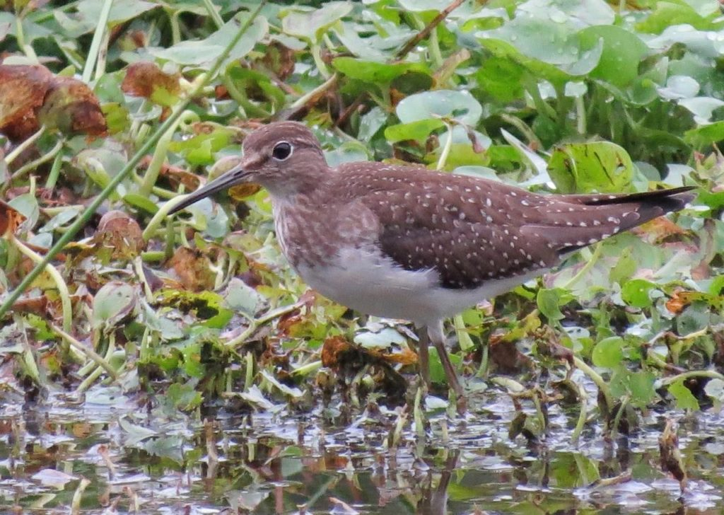 Solitary Sandpiper <br/>Credit: Janet Paisley
