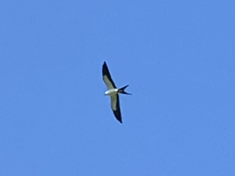 Swallow-tailed Kite <br/>Credit: David White