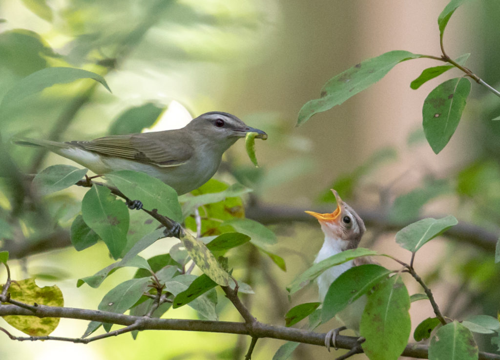 Red-eyed Vireo <br/>Credit: Greg Goodson